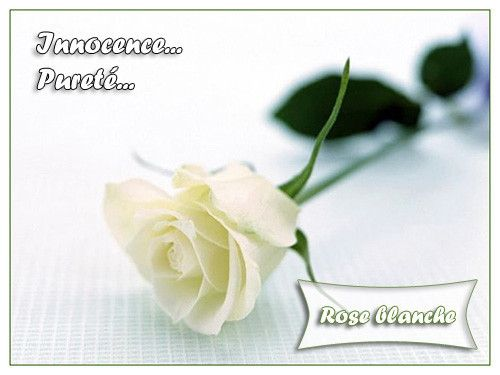 rose langage des fleurs
